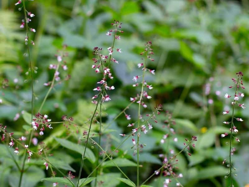 Enchanter's nightshade flowers