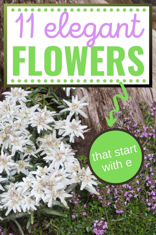 11 elegant flowers that start with e