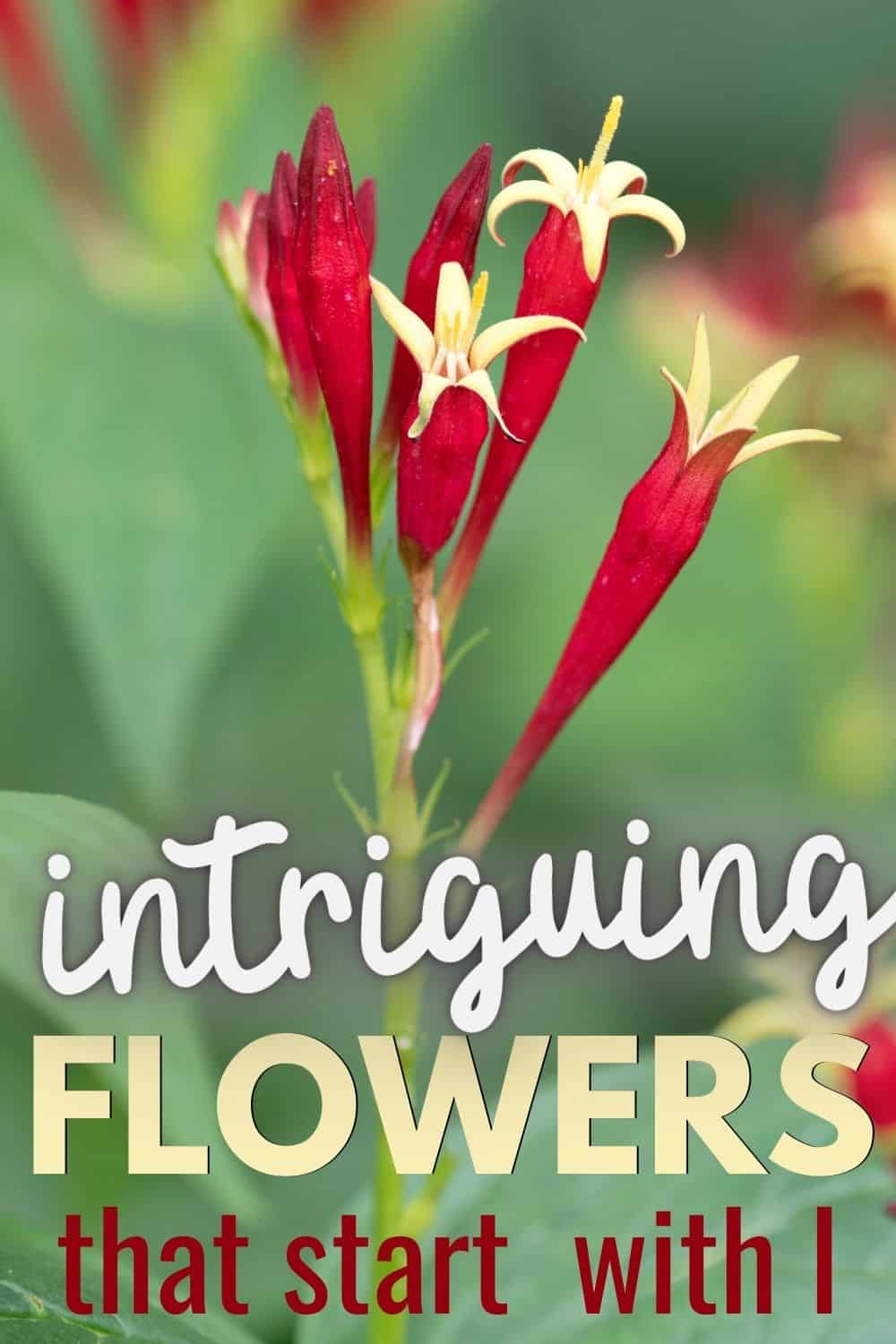 Intriguing flowers that start with I