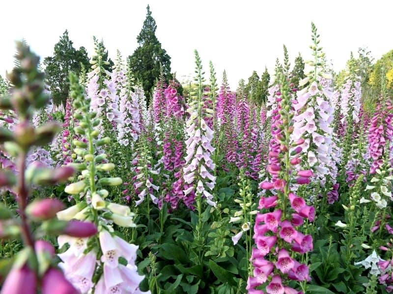 a field of blooming foxglove in differnt colorss
