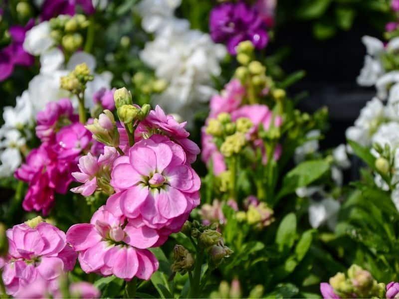 garden stock flowers