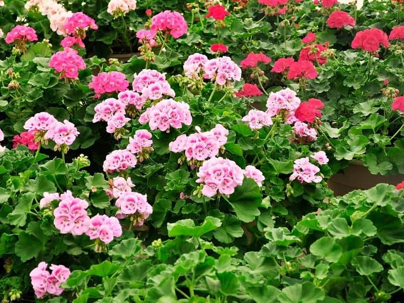 a mass of pink and red geranium