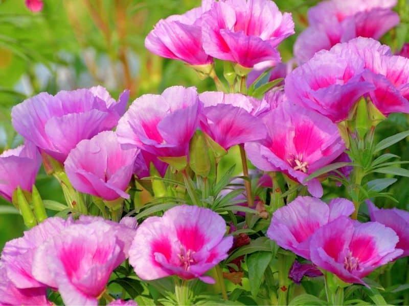 Godetia flowers