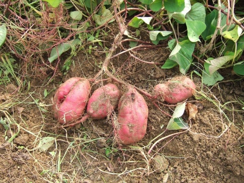 Harvesting sweet potatoes