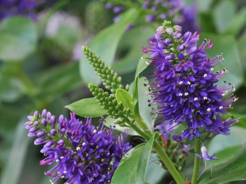 hebe flowers