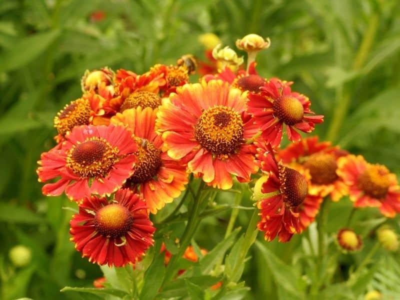 orange helenium flowers