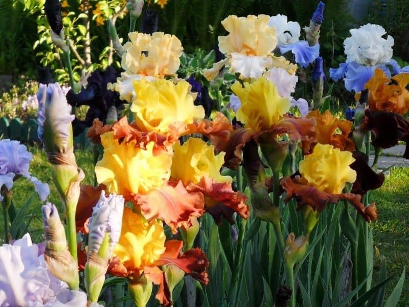 multicolored iris flowers