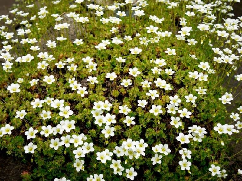 lots of white irish moss flowers
