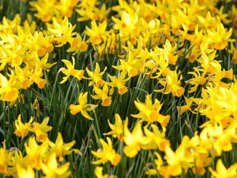 Narcissus jonquilla (daffodils)
