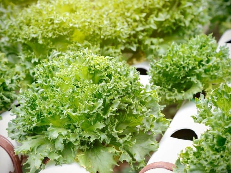 beautiful, large hydroponic lettuce