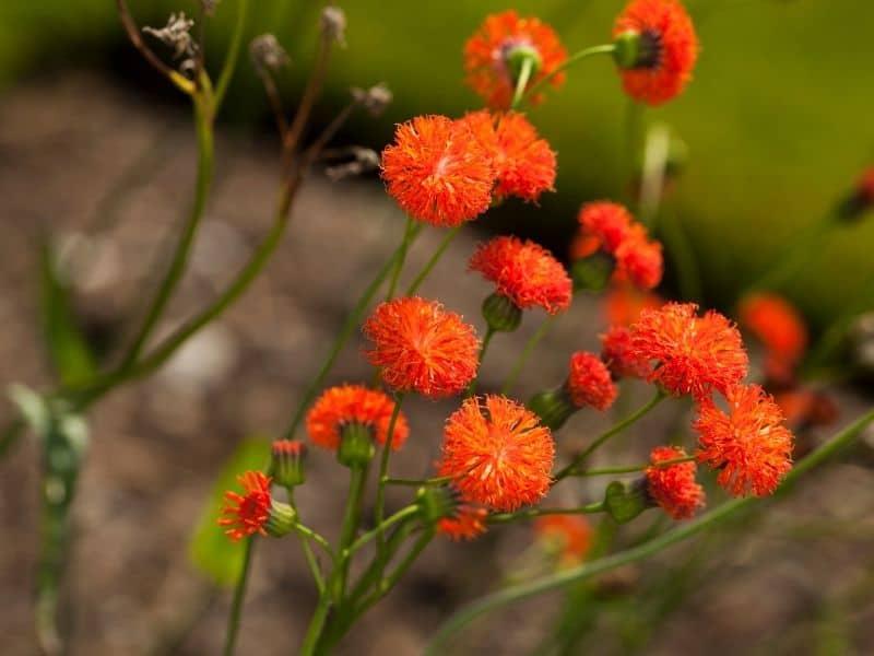 orange emilia flowers