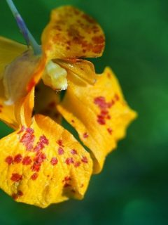 Orange jewelweed flower with red spots