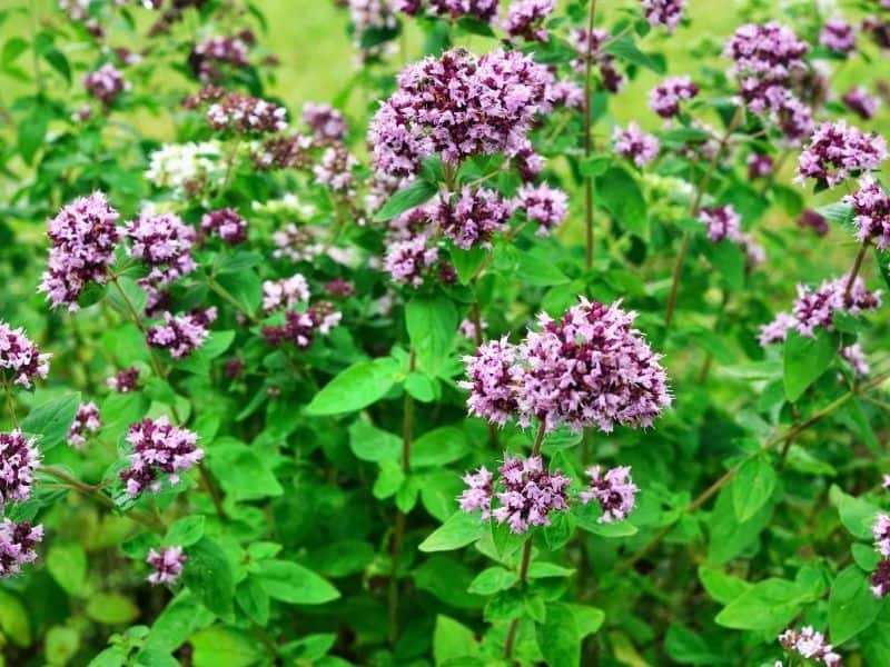blooming oregano plant