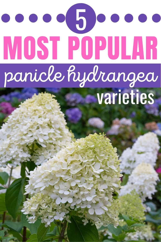 5 most popular panicle hydrangea varieties