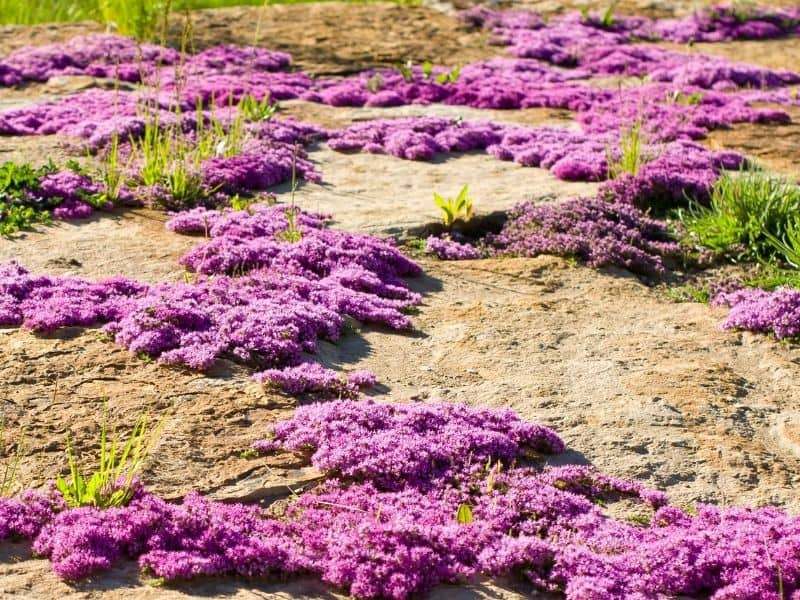 ground cover made up of pink flowers