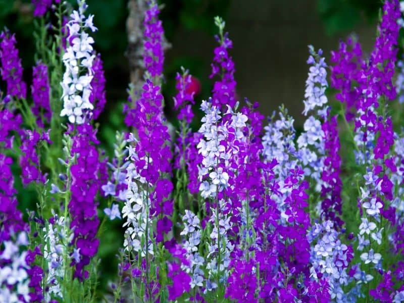 purple and white delphinium flowers