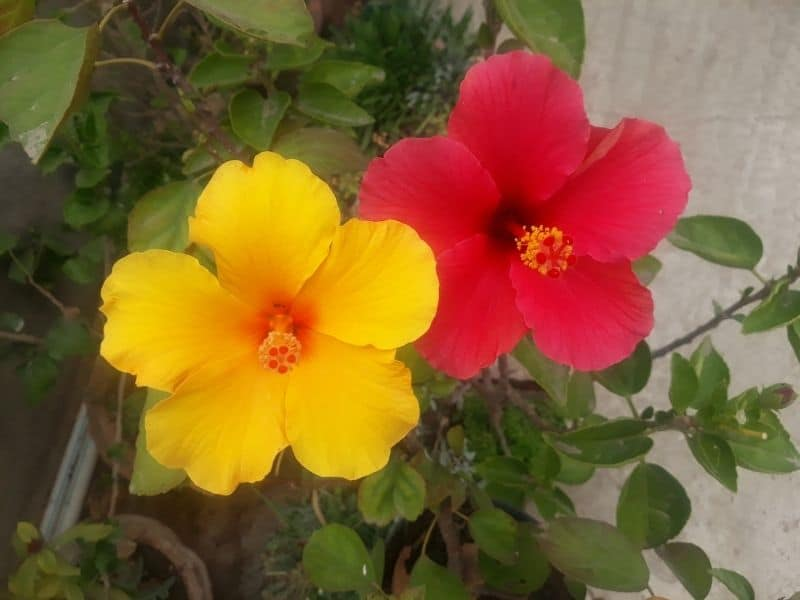 red and yellow hibiscus flowers