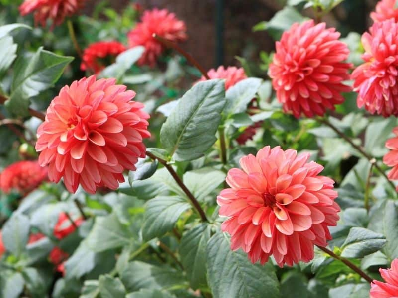 salmon colored dahlias