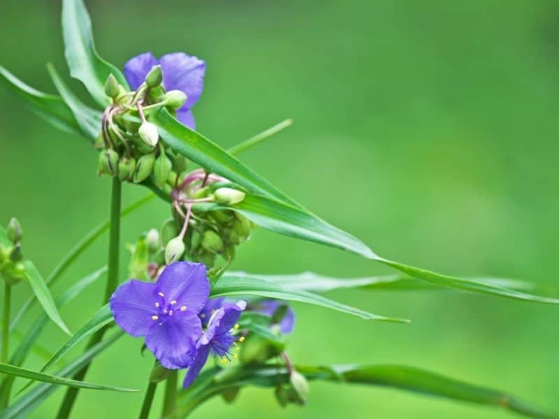 Spiderwort flowers