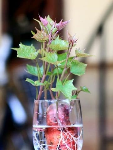 sprouting sweet potato in a glass of water