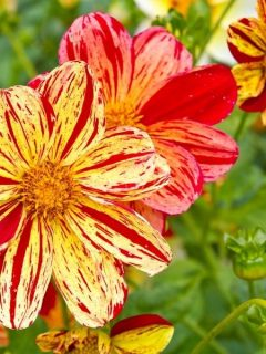Red and yellow striped dahlias