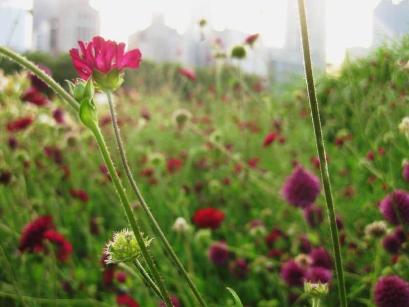 Knautia flowers