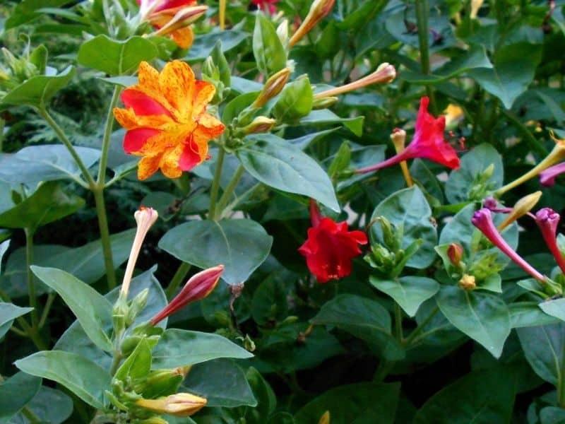 Marvel of Peru flowers (4 o'clock)