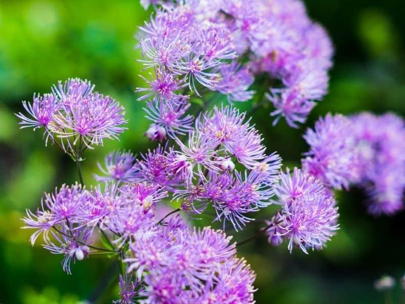 purple meadow rue flowers