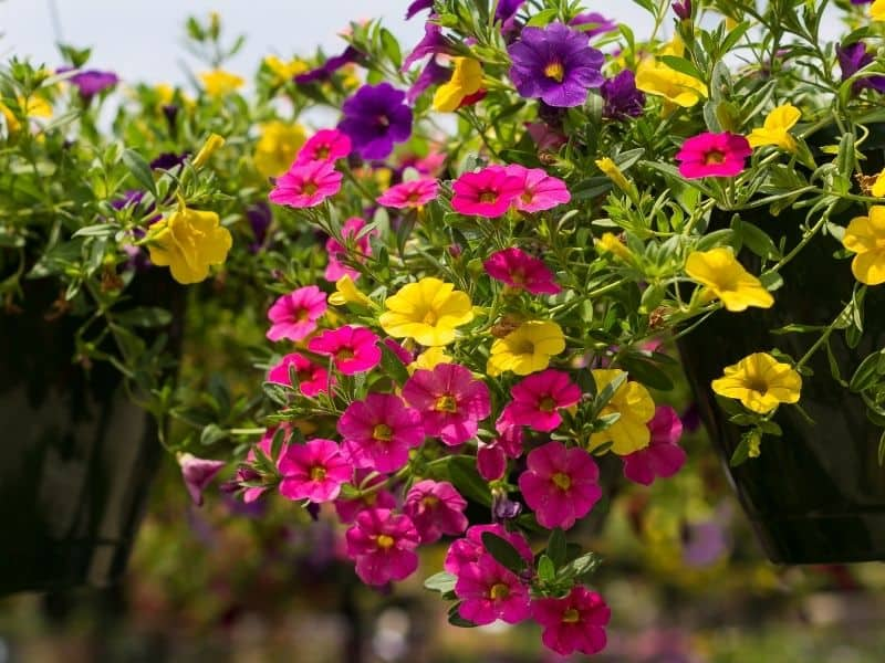 colorful million bells flowers