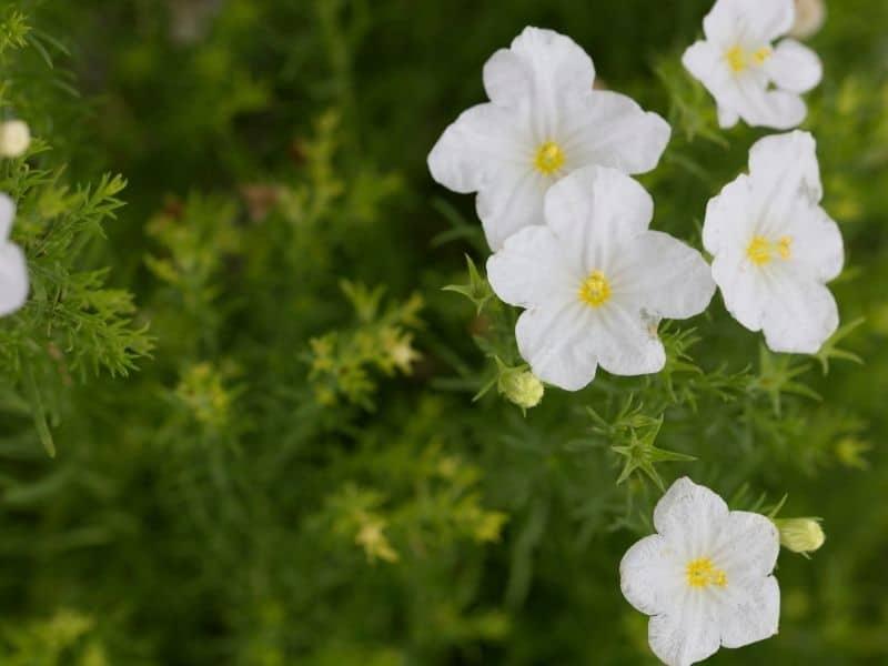 white Nierembergia flowers