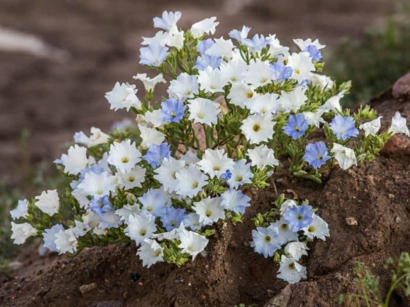 Nolana paradoxa flowers