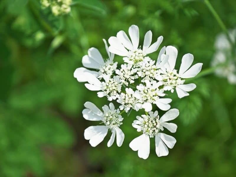 orlaya flowers