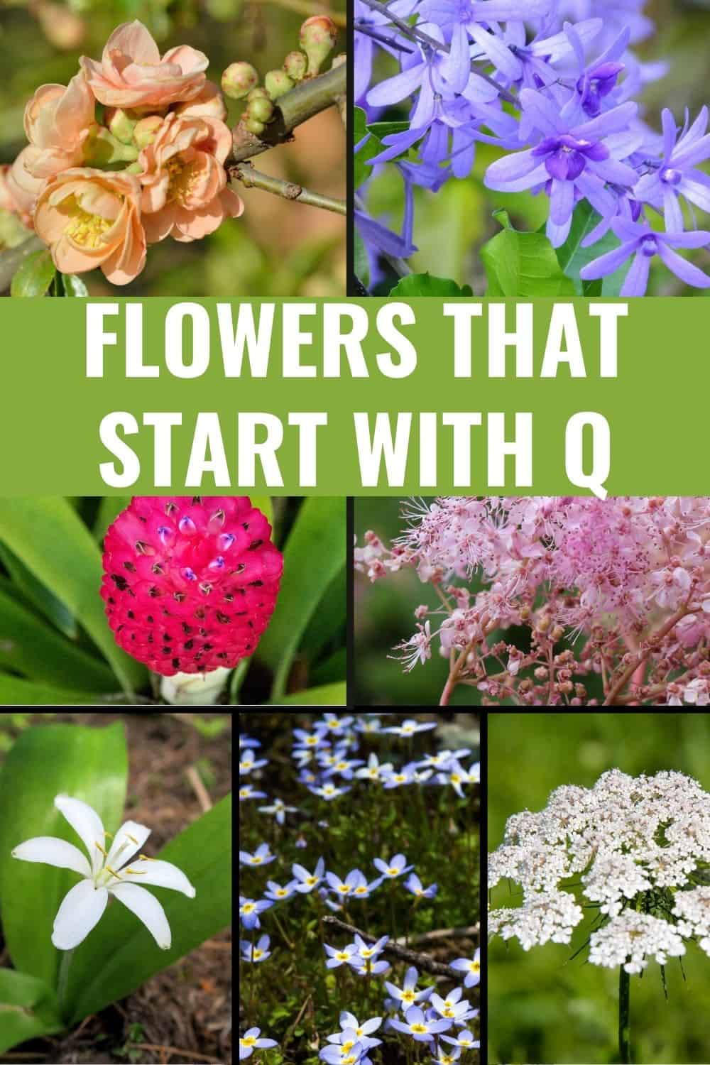 Flowers that start with q