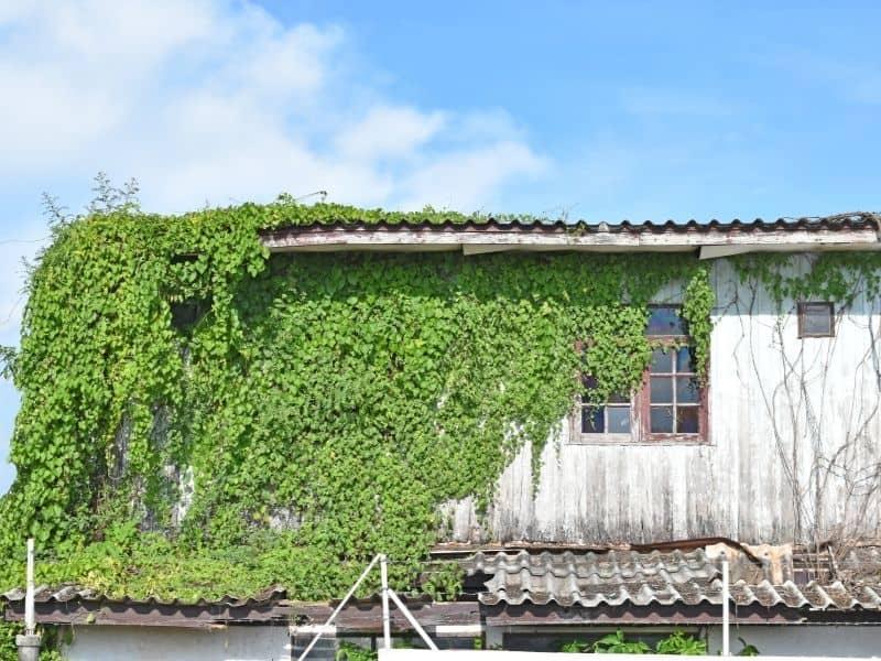 a house covered by kudzu vine