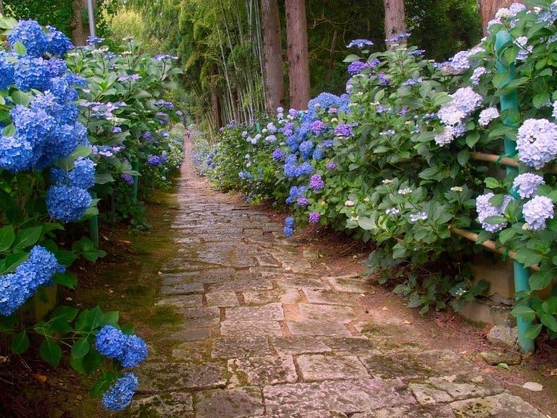 walkway flanked by beautiful hydrangea flowers