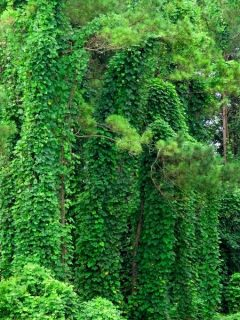 kudzu vine, a very invasive plant