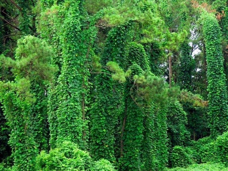 kudzu vine, a very invasive plant