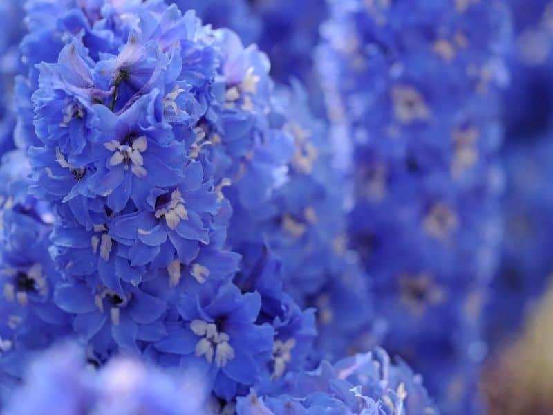 larkspur flowers