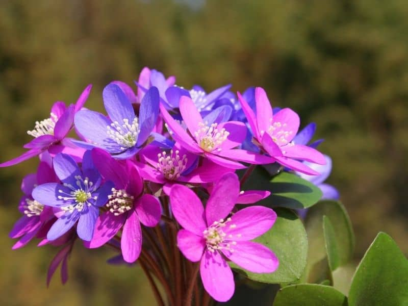 liverwort flowers