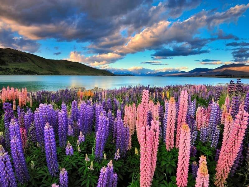 beautiful lupine flowers against blue skies