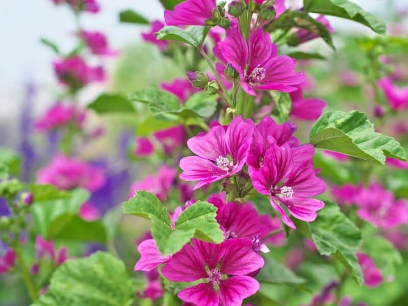 bright pink mallow flowers