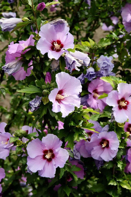 mauve hibiscus flowers