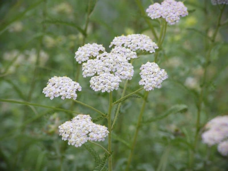 milfoil flowers