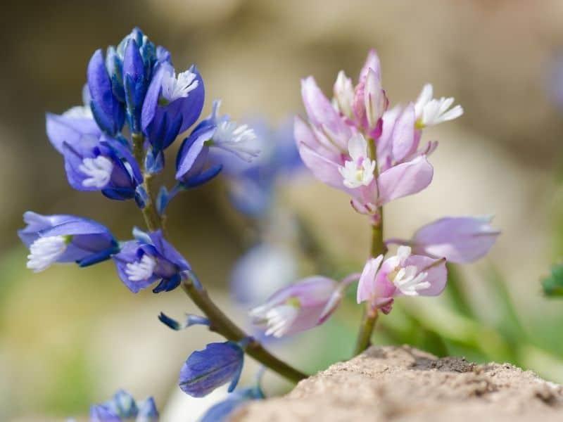 common milkwort flowers