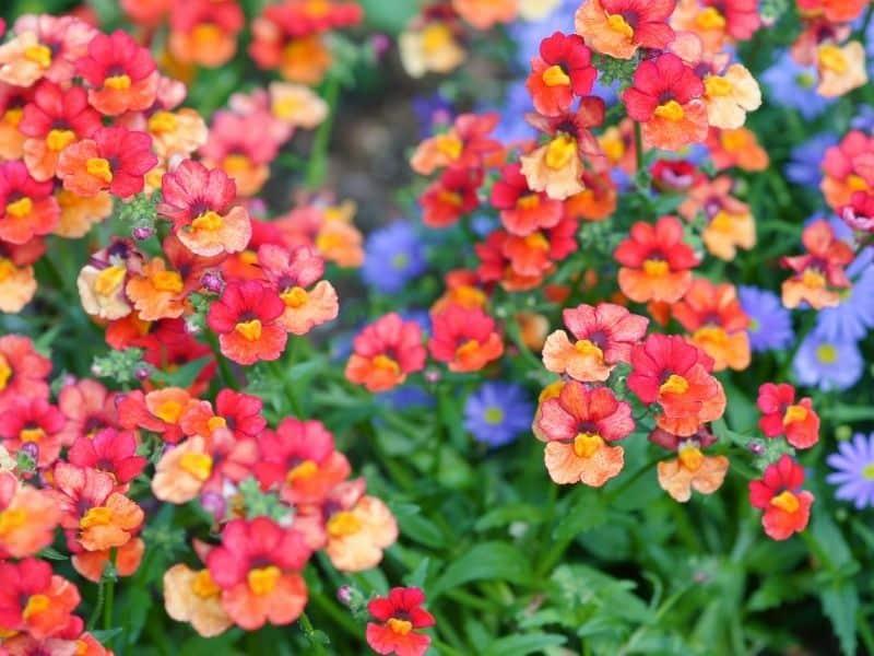 nemesia flowers