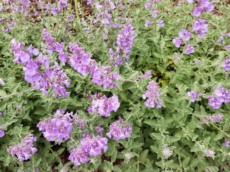 nepeta flowers