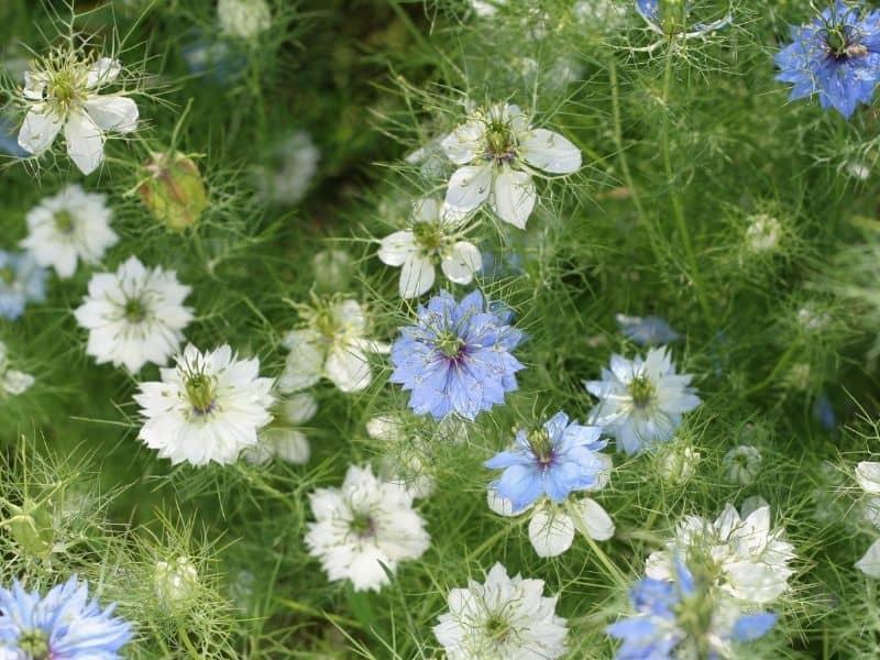 blue and white nigella flowers