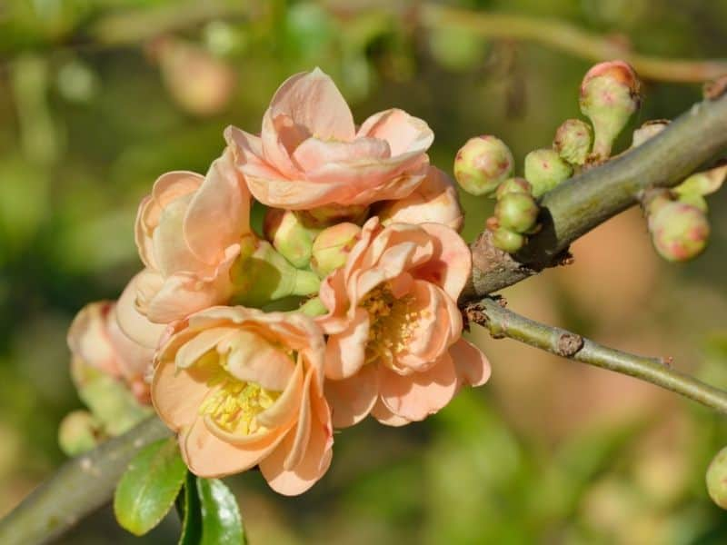 peach colored quince flowers