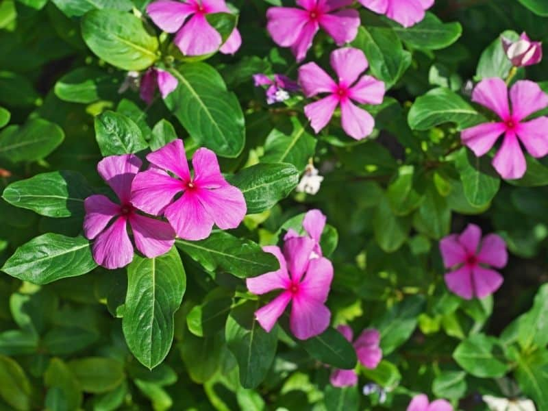 pink periwinkle ground cover
