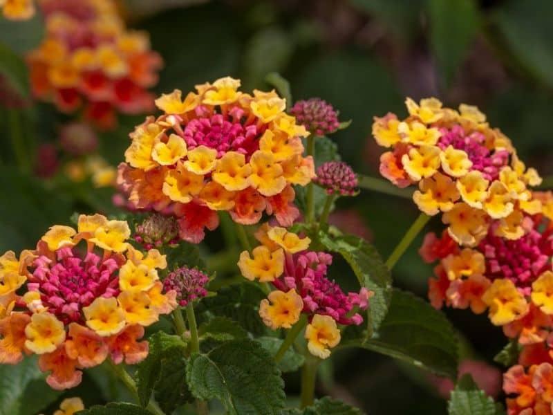 pink and yellow lantana flowers